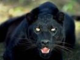 Panthere2_3