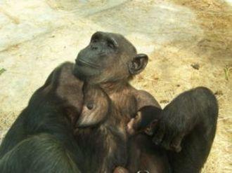 Chimpanzs
